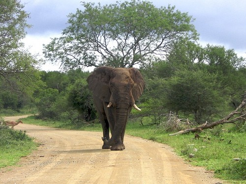 Elephant On The Road At iMfolozi Game Reserve
